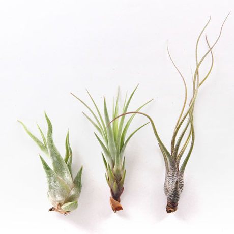 AIRPLANTS LARGE(エアプランツ L)(URBAN GREEN MAKERS )
