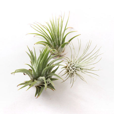 AIRPLANTS SMALL(エアプランツ S)(URBAN GREEN MAKERS )